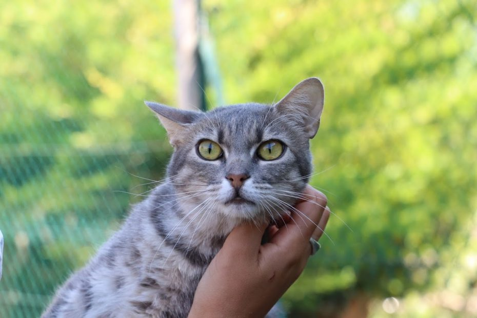 Koba, femelle d'un an.  Koba avait été placée dans une famille avec un autre chat. Depuis peu, la petite puce déclare des gales d'oreilles à répétition et des gingivites de façon chronique, mais qui ne l'empêche pas de manger.  Koba a été testée NÉGATIVE à la leucose et au sida du chat, cependant, si son système immunitaire est faible aussi jeune, c'est qu'il y a quelque chose de suspect..  Nous souhaitons lui trouver une famille sans autres animaux, et qu'elle vive en appartement.  C'est une chatte adorable et très câline.