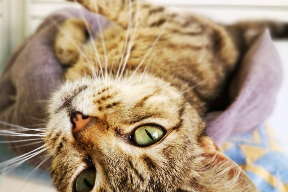 Bella, femelle de 8 ans. 🌻  Bella est une chatte porteuse du sida du chat.  Très peu sociable avec les autres chats, elle l'est avec les humains. Elle est très très câline, elle adore les caresses, les gratouilles...  C'est une minette qui apprécie la présence, la compagnie.  Nous la placerons sans autres animaux et en appartement de préférence avec un extérieur (balcon ou terrasse).  Venez la rencontrer, elle vous fera craquer avec ces beaux yeux verts.
