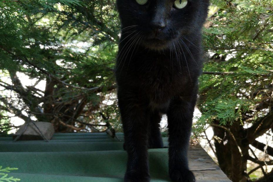 Bougnat, chat mâle d'environ 8 ans. Charmeur, câlin et très gentil. Placement avec un extérieur.