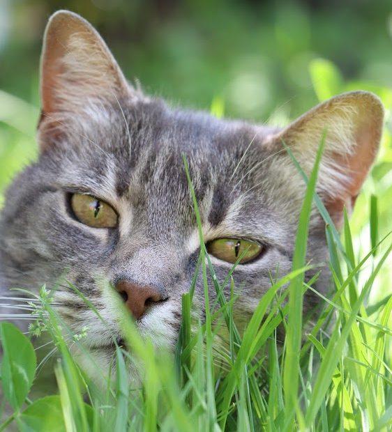 allow femelle de 8 ans. Câline mais indépendante. Elle adore profiter de l'extérieur mais n'apprécie pas la compagnie de ses congénères. Nous la placerons seule, dans une maison avec un grand jardin.