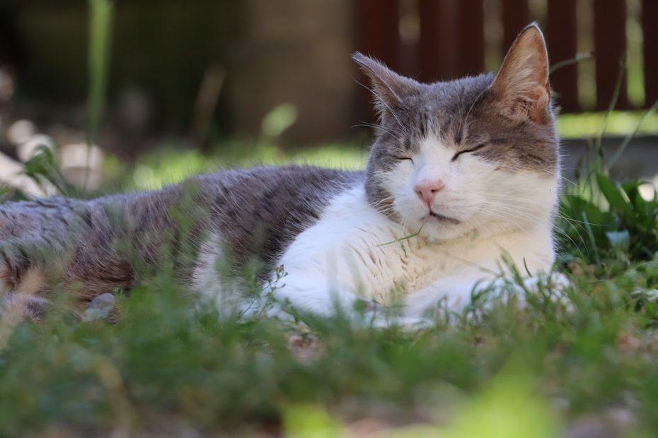 Grisou, mâle de 12 ans. Ce chat est calme et indépendant. Il aime la tranquillité et sait apprécier les caresses.