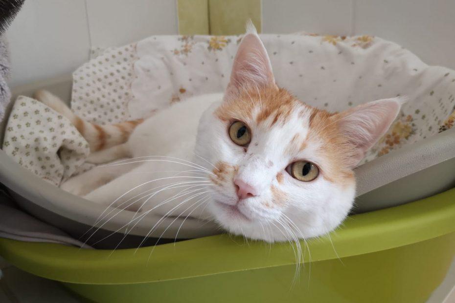 Mimi, chat mâle de 6 ans. Chat très gentil, très câlin également. Mimi est très gourmand ! Il a besoin de présence.