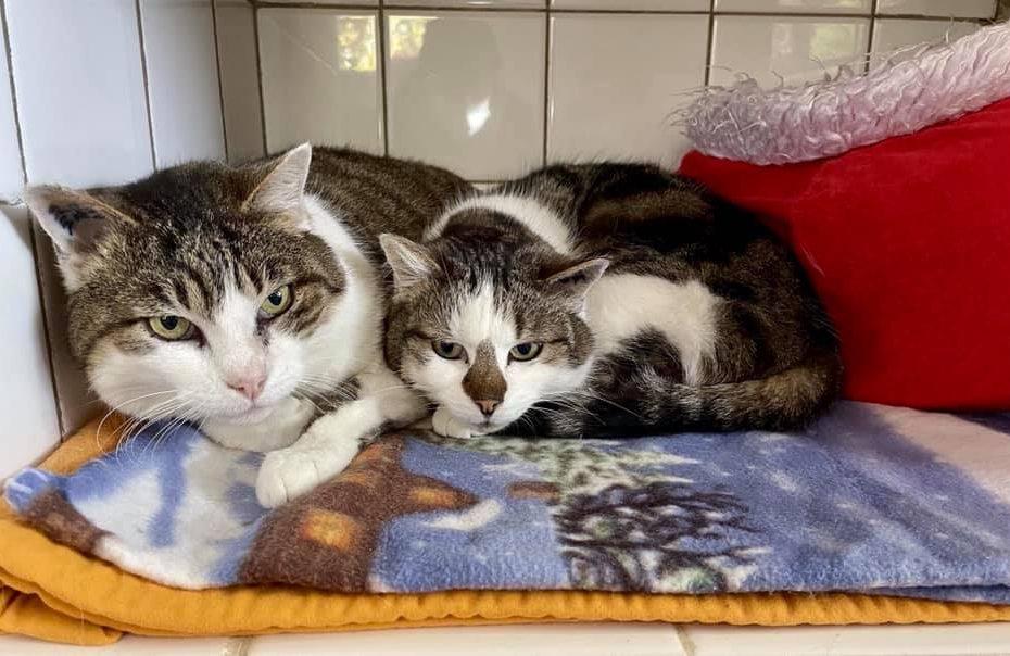 Pipo (11 ans) et Mousse (5 ans) sont deux chats adorables à adopter ensemble. Pipo est le garde du corps de Mousse. Ils ont toujours vécu ensemble, en maison. Ils sont un peu craintifs mais très gentils. Coup de coeur assuré!
