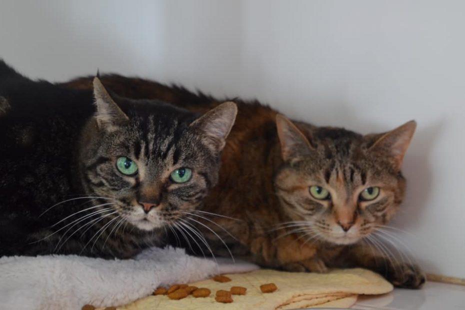 Les inséparables Fennec (la plus claire) et Emilie sont deux mamies au grand coeur de 13 et 14 ans. Très attachantes, avides câlins, elles attendent un foyer pour y couler des jours heureux. Les adopter, c'est la garantie d'avoir deux fois plus d'amour à la maison!