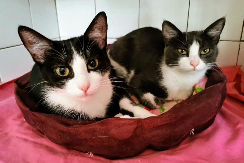 Ces deux charmantes chattes d'environ un an sont à adopter ensemble pour deux fois plus d'amour en cadeau. Très sociables, gentilles, curieuses, elles attendent leur famille pour couler des jours heureux.