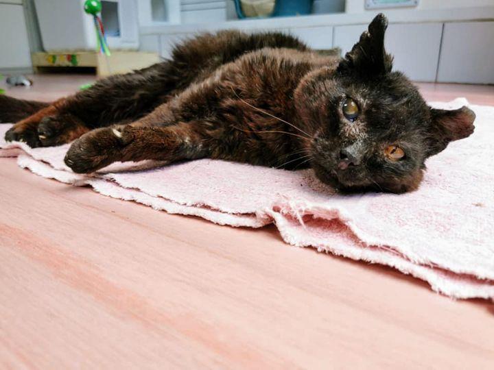 Pirate, le chat noir au coeur de rocker a vécu toute sa vie dans la rue. Mais il ne demande qu'à être aimé par l'homme. Cabossé mais bien vivant et tonique, il est positif au Sida du chat. Pour autant, il ne s'en laisse pas compter! Il aimerait être adopté bien sûr, mais une famille d'accueil qui lui offrirait un panier confortable lui conviendrait aussi. Il a environ 10 ans.