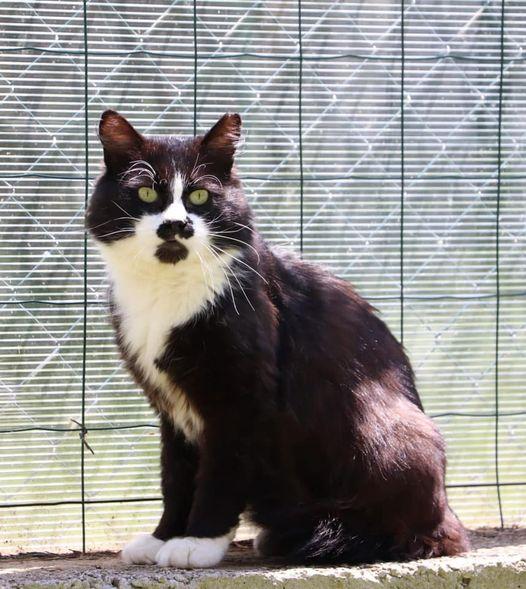 Le petit Berlioz est un matou pour qui le coup de coeur est assuré. Ce chat de 10 ans est positif au Sida du chat mais va très bien. Curieux, proche de l'homme, tendre et très séduisant avec son smoking, il ne sait pas quoi faire pour attirer l'attention. Venez le découvrir!