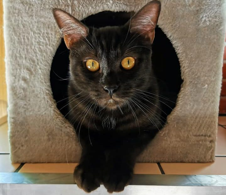 Hypnos a environ un an. Très câlin, sociable avec les autres animaux et avec les enfants, il a été accidenté. Il a aussi de légers soucis d'incontinence mais sa beauté magnétique le rend irrésistible. Venez rencontrer ce beau chat aux yeux d'or.
