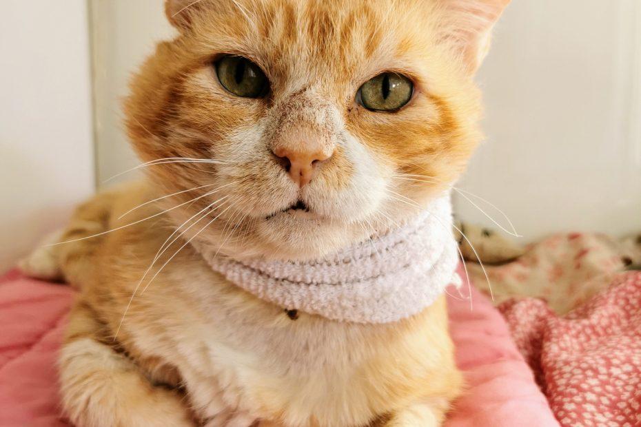 Gus' est un chat mâle qui aurait environ 5 ans. Difficile d'estimer l'âge d'un chat adulte issu de la rue.. Gus est positif au sida du chat et il est actuellement en convalescence au refuge. Il est arrivé avec une plaie au cou suite à un abcès. Nous lui recherchons un foyer. Placement en appartement avec un petit accès extérieur sécurisé.