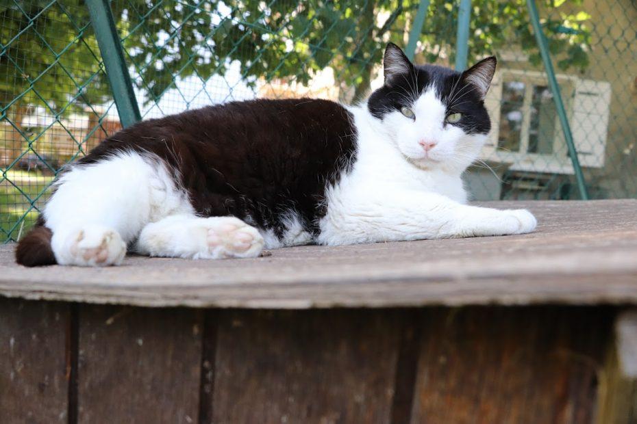 Filou, mâle de 9 ans. Ce gros matou est très gentil et adore les caresses et la brosse ! Il aime la tranquillité et se faire dorer la pilule au soleil ! Un placement en maison est obligatoire pour ce grand chat tendre.